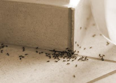 ameisen bek mpfen sunbugs. Black Bedroom Furniture Sets. Home Design Ideas
